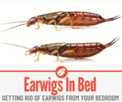 Earwigs In my Bed - Causes & Preventing Earwigs in Bedroom