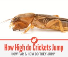 How High Can Crickets Jump , How Far & How Do they Jump!