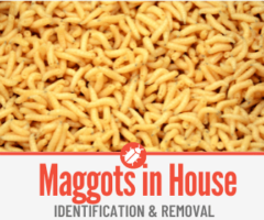 Maggots in House & Kitchen - Causes & Getting Rid of Them.
