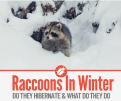 Do Raccoons Hibernate - What Do Raccoons Do in Winter