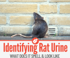 What Does Rat Urine Smell & Look like - How to Get Rid of It
