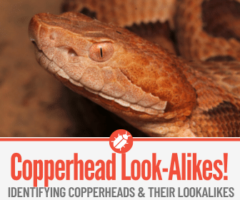 10 Snakes That Look Like Copperheads - Identification Guide