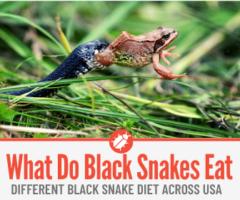 What do Black Snakes eat