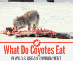What Do Coyotes Eat - In Wild & City
