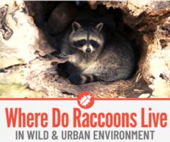 Where Do Raccoons Live , Nest & Sleep