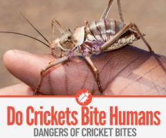Do Crickets Bite Humans & Dangers of a Cricket Bite