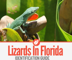 17 Lizards In Florida To Look Out For - Identification Guide