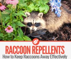 12 Natural Raccoon Repellents To Deter & Keep Raccoons Away