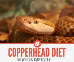 What do Copperhead Snakes Eat