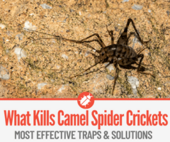 What Kills Camel Spider Crickets, How to Kill them &Best Traps