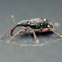 Weevils