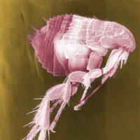 flea-63043_960_720-min